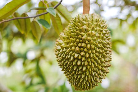 Close-up Top durian in the orchard of Thailand. 版權商用圖片