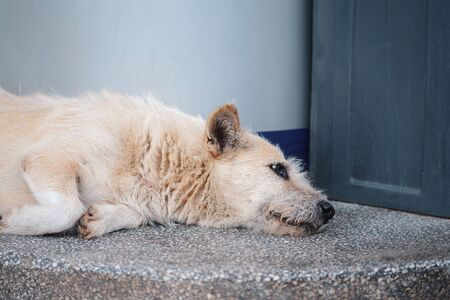 A white stray dog ​​lay alone on the side of the street with a sad sight. 版權商用圖片