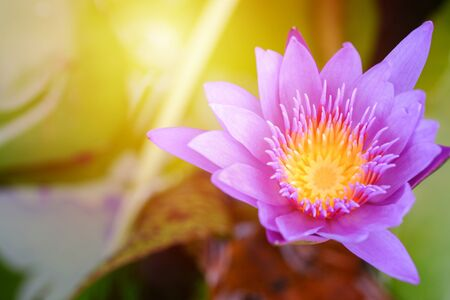 Purple lotus flower opened on a pond with yellow center and 版權商用圖片
