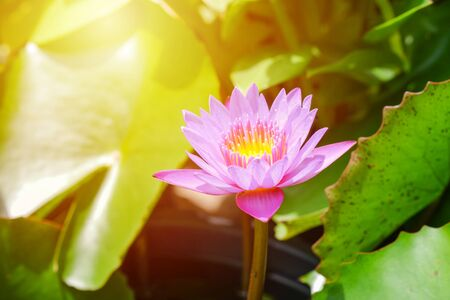 Pink lotus flower opened on a pond with yellow center and green leaf around. 版權商用圖片