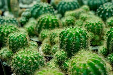 Close-up cactus plants in a pots. Stock Photo