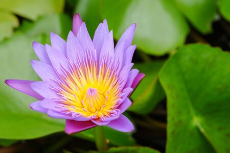 Purple lotus flower opened on a pond with yellow center and green leaf around. 版權商用圖片
