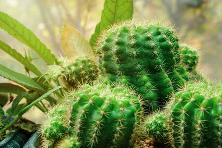 Cactus plants close-up, fresh green