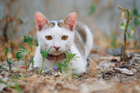 A lovely black and white Thai cat lying on the ground alone looking at the front with a natural background.