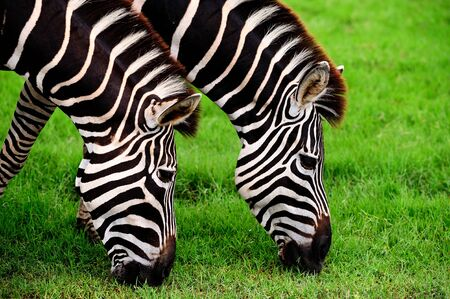 munching: Two zebras eating grass