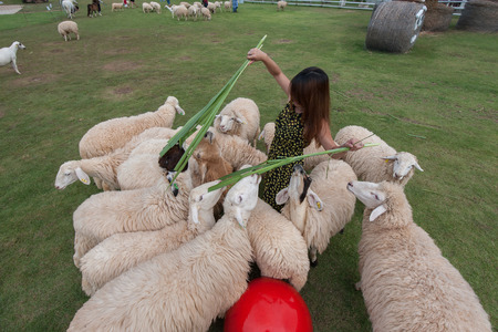 ratchaburi: Young woman plays and feeds in the middle of sheep in the sheep farm in Ratchaburi, Thailand.