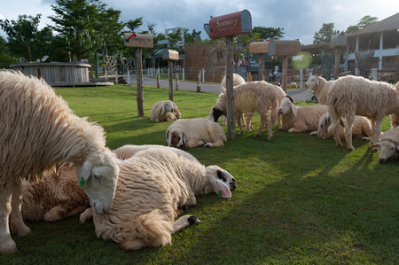 ratchaburi: Ratchaburi, Thailand - June 22, 2012: Sheep rest on the grass field in the afternoon sunlight.