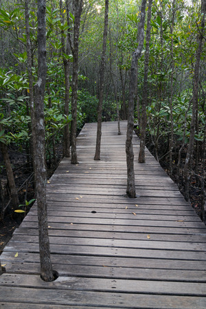 Trees grow up through the old wooden path in the mangrove forest. photo