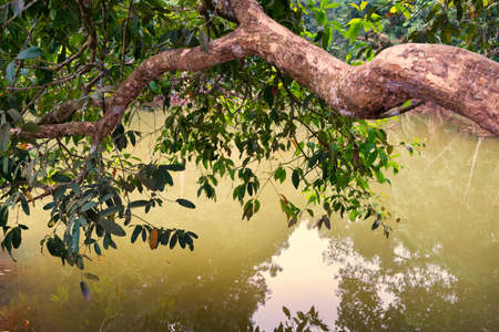 lean over: Large branch of tree leans out over the water in the forest.
