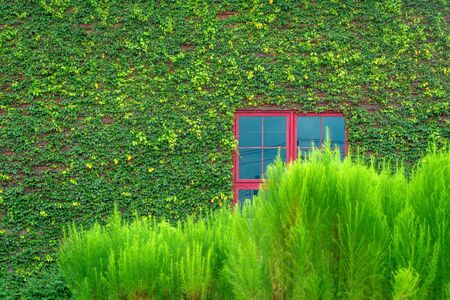 creeper: Red window on wooden wall covered with green vines and bush.