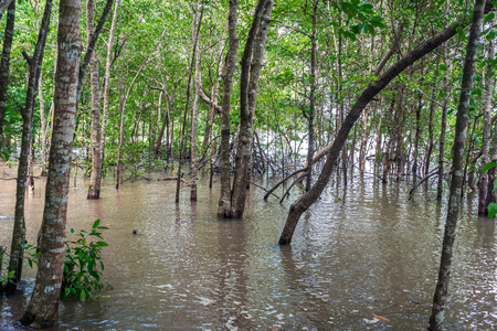 Mangrove forest and river in Krabi, Thailand.
