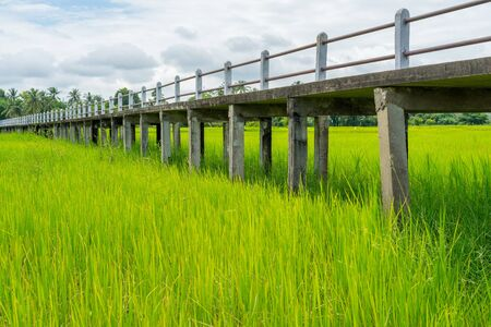 Elevated concrete walkway in green rice field with blue sky and clouds. Stock Photo