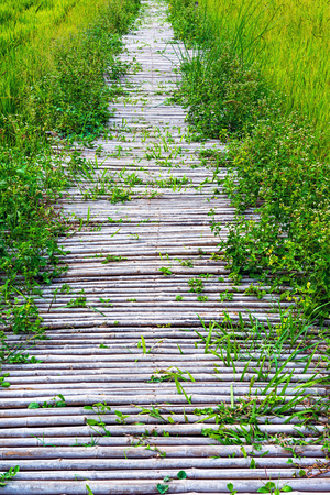 Overgrown bamboo walking path on the green rice field in Thailand.