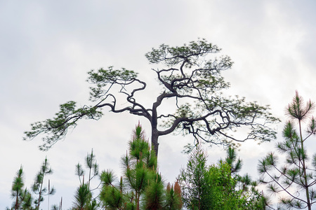 Twigs of hundreds year old pine trees on white cloudy sky background.