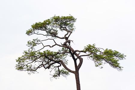 Twigs of old pine tree on white sky background. 版權商用圖片
