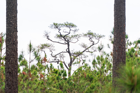 Tall green tropical pine trees on white sky background.