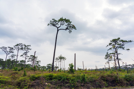 Hundred year old pine trees in green field in Phu Kradueng, Thailand.