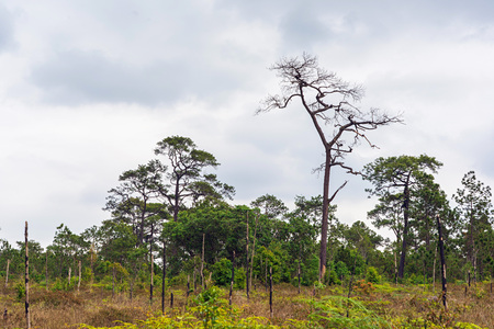 Twigs of dead pine trees in green forest with cloudy sky.