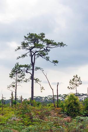 Hundreds year old pine trees on green mountain field. 版權商用圖片