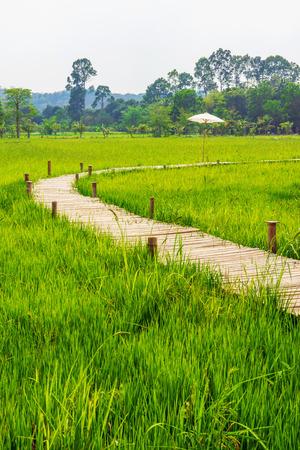Bamboo bridge across green rice field with tree line background.