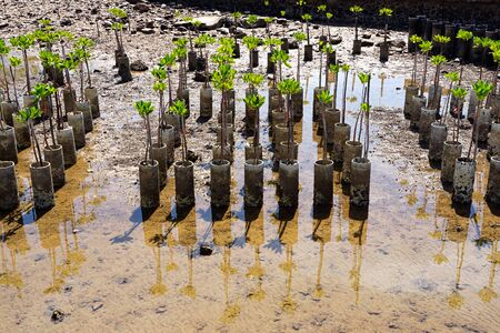 Young mangrove trees for reforestation at the shore in Sattahip, Chonburi, Thailand. Stock Photo
