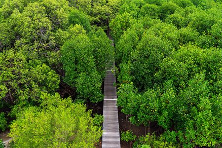 High angle view of wooden elevated path into green mangrove forest.