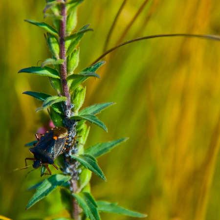 Black bedbug climbing on plant Stock Photo