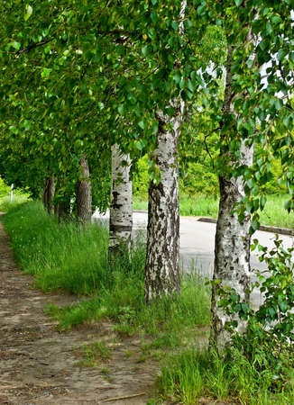 Birch trees with young foliage in urban environment summer Stock Photo