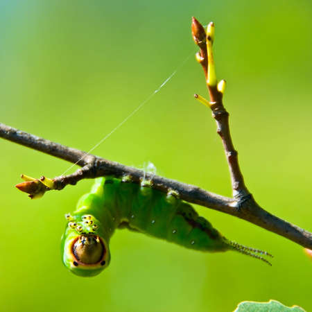 Green caterpillar hanging on branch, close-up Stock Photo