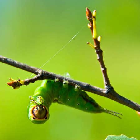 Green caterpillar hanging on branch, close-up Stock Photo
