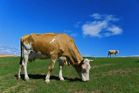 A brown cow in a pasture with a blue sky