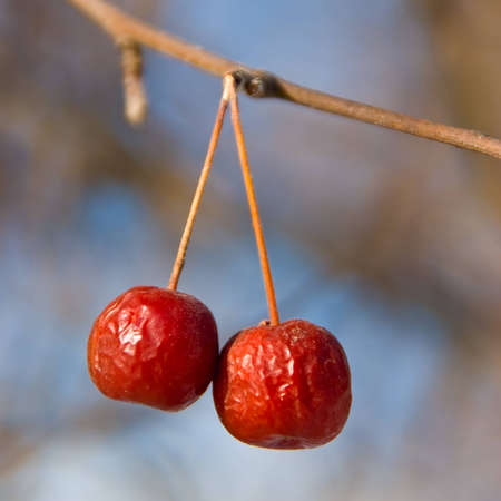Two wrinkled red crab apples on a branch