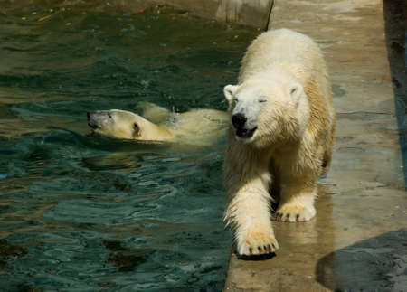 Polar bears in the Novosibirsk zoo, Russia Stock Photo