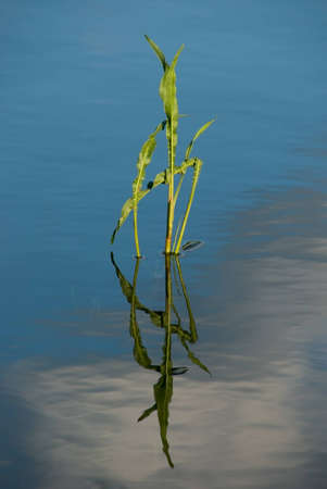 The reflection of the stem plants in the blue water of the pond