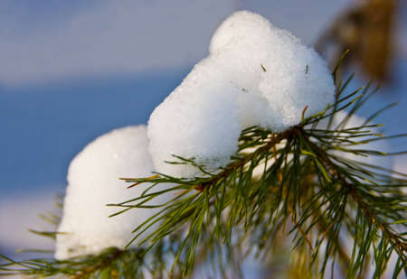 A pine branch coated in snow, close-up