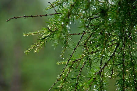 Green branch of larch after the rain Stock Photo