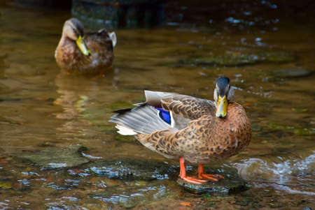 Duck standing in water on a stone