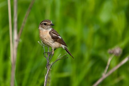 A female stonechat  Saxicola torquata  perching on branch, green background Stock Photo