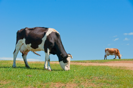 Two cows grazing on pasture
