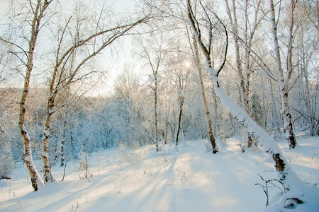 Snow covered aspen trees. Winter forest with deep snowdrifts