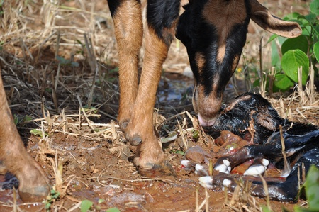 maharashtra: A sheep delivering a baby in Western Ghats, Maharashtra