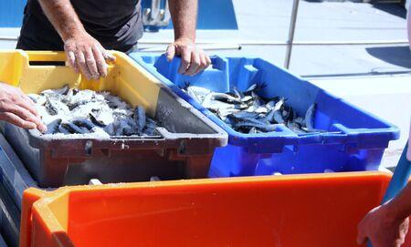 sardines: Freshly caught sardines in fishing harbor