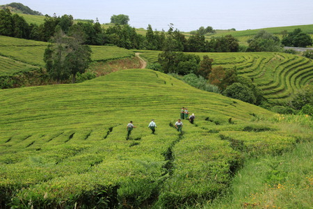 agriculture azores: Tea plantation on Sao Miguel in the Azores Iceland