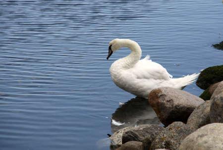 waters  edge: white swan on the waters edge