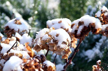 faded: faded hydrangea in snow