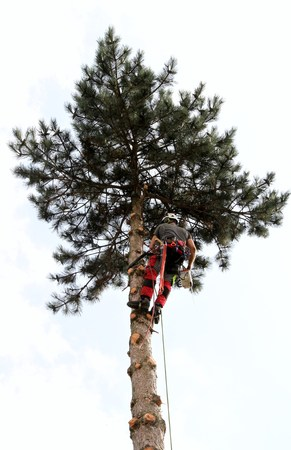 Tree climber at work