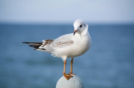 coquettish: Coquettish little gull on a sea background