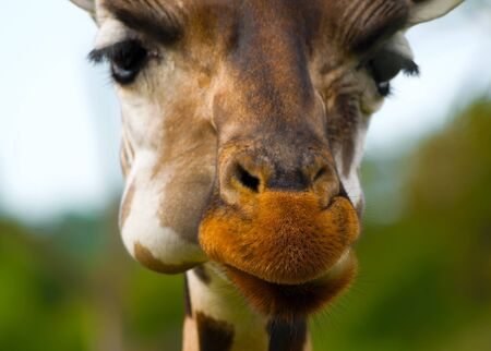 skewbald: Close-up photo of a cute giraffes muzzle in a shallow focus with a focus on its fluffy nose.