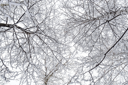 interweaving: Interweaving tree branches over clouded sky. Birch trees covered in snow.