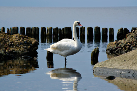 Mute Swan (Cygnus olor) standing in the water, stones, wooden posts and sea in the background. Stock Photo